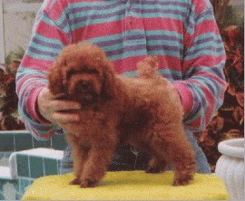 Red Poodle Baby Boy