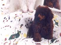 champion red poodles